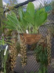 Gongora maculata, Flecker Botanic Garden, Cairns, QLD, 31/10/18 (Russell Cumming) Tags: plant gongora gongoramaculata orchidaceae fleckerbotanicgarden cairnsbotanicgarden cairns queensland