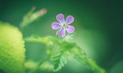 Herb Robert (Dhina A) Tags: sony a7rii ilce7rm2 a7r2 a7r kaleinar mc 100mm f28 kaleinar100mmf28 5n m42 nikonf russian ussr soviet 6blades manualfocus herb robert flower bokeh