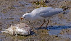 scavengers: the silver gull (Fat Burns ☮) Tags: silvergull chroicocephalusnovaehollandiae laridae bird australianfauna australianbird fauna seabird seagull wader nikond500 20005000mmf56 wynnumforeshore