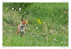 Renard (BerColly) Tags: france auvergne puydedome mammifere mammal renard fox summer été field bercolly google flickr champs