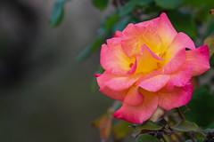 Winter Rose (Stephen G Nelson) Tags: flower rose garden park tucson arizona