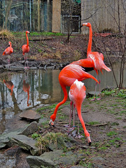 Flamingos (George Neat) Tags: flamingos animals pittsburgh zoo ppg aquarium allegheny county pa pennsylvania georgeneat patriotportraits neatroadtrips