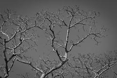 Barren Trees, Chagras River