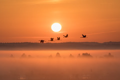 Kranich (Grus grus) (Matthias.Kahrs) Tags: kranich grus common crane kraniche sonnenaufgang nebel vögel vogel bird birds matthiaskahrs tiefenschärfe schärfentiefe sonne sunrise canon 5d canoneos5dmarkiv canon5dmarkiv sigma 150600mm sigma150600mm sigma150600mmf563dgoshsms sigma150600mmf563dgoshsmsports matthias kahrs