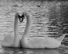 True Love (Andy Jah) Tags: swans birds love selectivefocus waterfowl beauty blackandwhite blackwhite water