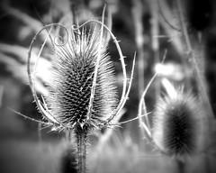 _prickly (SpitMcGee) Tags: disteln thistles stachlig prickly vertrocknet withered blackwhite schwarzweis monocrom hmbt spitmcgee explore 16