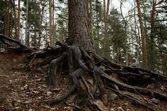Roots (real.jtj) Tags: skogen skog woods wood falun dalarna hosjö sweden sverige nature old forest