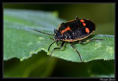 Eurydema oleracea (cquintin) Tags: arthropoda hemiptera pentatomidae eurydema oleracea macroinsectes
