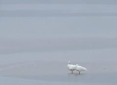 Mates for Life (louise peters) Tags: swan swans zwaan zwanen matesforlife lagune laguna coast kust puentelagunagarzón vogel vogels bird birds watervogels uruguay seascape water sea zee mist misty nature natuur highkey pastel