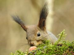 Red Squirrel (Sciurus vulgaris) (eerokiuru) Tags: redsquirrel sciurusvulgaris eichhörnchen orav animal closeup p900 nikoncoolpixp900