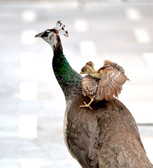 On Mama's back (Prerna02) Tags: birds peahen nature wild wildlife motherandchild funtime