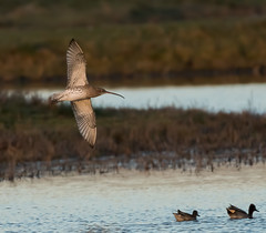 Rainham 12.12.18 Flying Curlew