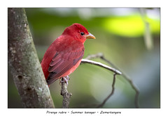 Summer tanager (Jan H. Boer, Nature photographer) Tags: pirangarubrasummertanagerzomertangarebirdstanagersnaturewildlifecosta ricaaguas zarcasnikond500afs nikkor 200500 f56e ed vrjan´s photostream 2018