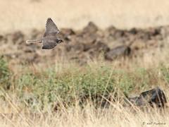 Lanner falcon -- immature (npaprock) Tags: falcobiarmicus falco lannerfalcon falcon yangudirassanp yangudirassa afar ethiopia africa immature