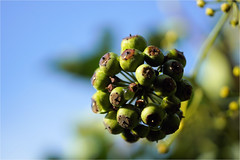 Hedera helix (atsjebosma) Tags: macromondays hobbys macro mondays monday maandag atsjebosma hedera hederahelix nature natuur coth ngc