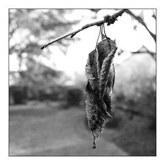 Winter cherry ! (Wilco1954) Tags: square leicaq cherrytree macro leaf mono squareformat