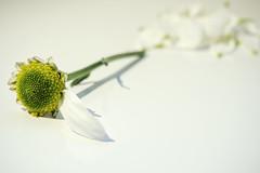 He Loves Me, He Love me Not! (me.behindthelens) Tags: smileonsaturday onesiglepetal petal whiteonwhite daisy flower