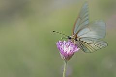 large veined white , (jolanda den hartog) Tags: lesvos2018 grootgeaderdwitje aporiacrataegi largeveinedwhite jolandadenhartog macro griekenland greece vlinder butterfly sigma105mm nikon nikond7200