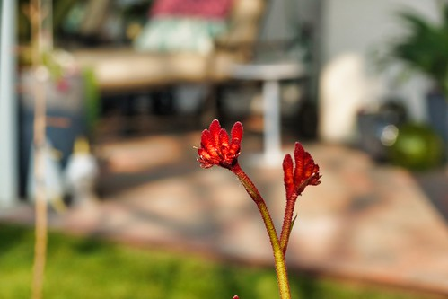 2019-01-31 - Nature Photography - Flowers - Kangaroo Paws