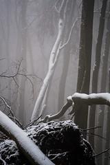 20190202-060 (sulamith.sallmann) Tags: landschaft pflanzen wetter baum botanik brandenburg buche buchenwaldgrumsin bäume deutschland europa laubbaum natur nebel nebelig pflanze schnee snow uckermark wald weltnaturerbe winter winterlich sulamithsallmann