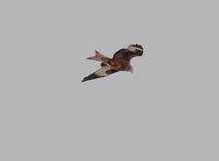 IMG_5236 (monika.carrie) Tags: redkite monikacarrie wildlife scotland aberdeenshire royaldeeside
