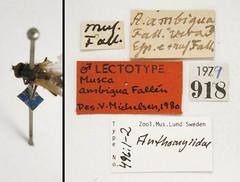 Musca ambigua Fallén, 1823 (Biological Museum, Lund University: Entomology) Tags: fallén diptera anthomyiidae musca ambigua zaphne mzlutype00496 taxonomy:binomial=muscaambigua