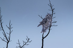 Short-eared owl (Peter Stahl Photography) Tags: owl shortearedowl tree winter snow wildlife
