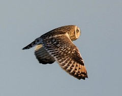 Short Eared Owl (merseymouse) Tags: owlshunting shortearedowl birdsofprey raptors