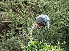 Goliath heron - Ardea goliath (Linda DV) Tags: ardeagoliath goliathheron pelecaniformes lindadevolder africa 2018 lumix travel geotagged nature kenya fauna baringo lake
