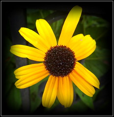 Unruly (dimaruss34) Tags: newyork brooklyn dmitriyfomenko image flower coneflower
