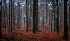 Autumn colors 5 (titidylan) Tags: forest trees woods forêt belgique belgium colours autumn automne