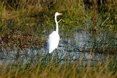 GREAT EGRET (concep1941) Tags: birds heronfamily saltandfreshwaters evergladesnationalpark sandbars