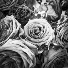 Birthday roses (andreasbrink) Tags: autumn italy taino bw rose blackandwhite fineart zeissmilvus macro