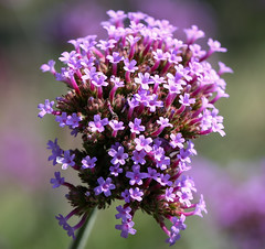 Flowers (LuckyMeyer) Tags: blüte blume light sun green lila makro fleur flower