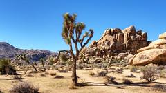 Joshua Tree National Park, California (mon_T) Tags: wüste desert steppe braun brown stones steine joshua kaktus strauch himmel sky blue blau weed cactus