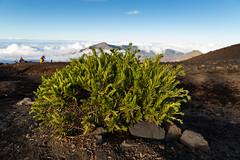 Pflanze Haleakala Krater Maui Hawaii
