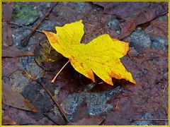 November at Neck Point Park (robinb44) Tags: leaves leafs nanaimo neckpointpark trees bigeafmaple redalder garyoak cottonwoodtrees vancouverisland britishcolumbia canada autumn fall november