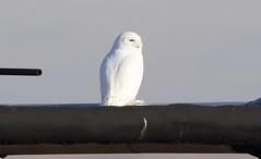 Snowy Owl  5001 (robenglish64) Tags: snowyowl