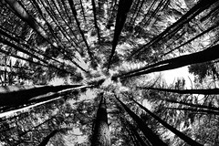 In the Forest of Tall Tall Trees (WilliamND4) Tags: forest woods trees wideangle nikond810 blackandwhite blackwhite
