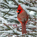 Northern Cardinal in the Snow (Birds&More) Tags: cardinal northerncardinal fermilab