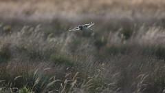 Short Eared Owl at Sunset (Chris Bainbridge1) Tags: asioflammeus shortearedowl in flight cambridgeshire fens