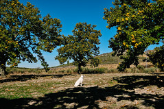 Ice the Dog guarding the family grove in Penela da Beira, Viseu (Gail at Large | Image Legacy) Tags: 2018 icethedog peneladabeira portugal viseu gailatlargecom