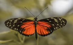 Heliconius hecale (Torok_Bea) Tags: heliconius hecale heliconiushecale beautiful butterfly macro nikon nikond7200 d7200 papilion sigma natur nature sigma105 pöttyöshelionka helionka