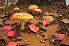 Fly Agaric Mushrooms 225 A (jim.choate59) Tags: jchoate on1pics autumn fallleaves oakleaves mushroom flyspeckmushroom undergrowth fallseason rx100 amanitamuscaria flyagaric