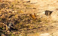 7K8A1139 (rpealit) Tags: scenery wildlife nature weldon brook management area darkeyed junco bird