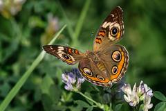 Eye's Have It (Portraying Life, LLC) Tags: michigan usa pentax ricoh meadow butterfly migrant flower alfalfa da3004 hd14tc closecrop nativelighting k1