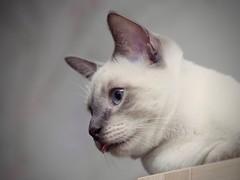 PC120849 (Vladimir V. Samoylov) Tags: 75mm animals cat e5markii mzuiko75mmf18 m43 micro43 microfourthirdsmicro43 olympus olympusm75mmf18 omd μ43