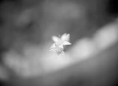 Campanula carpatica (Rosenthal Photography) Tags: treu familie ff120 städte epsonv800 anderlingen 20170701 bw bnw garten mitelformat ilfordhp5 45x6 asa400 analog mamiya645pro dörfer siedlungen campanula carpatica nature flower macro mamiya mamiya645 645pro 80mm f19 ilford delta magnifier epson v800