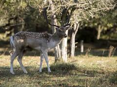 D81_13920 (charlesvanlangeveld) Tags: thenetherlands damadama amsterdamsewaterleidingduinen awd duinen fallowdeer animal stag grass mammal tree dear