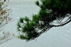 Pine Branch (Noel C. Hankamer) Tags: seabrooktexas pine branch tree needles water green